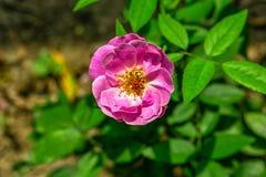 Το ανθίζοντας ρόδινο λουλούδι της Rosa Gallica γαλλικά αυξήθηκε σε έναν κήπο Κλείστε επάνω την όψη στοκ εικόνες