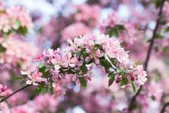 Το ανθίζοντας ρόδινο Apple-δέντρο Στοκ Φωτογραφίες