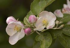 Το ανθίζοντας Apple-δέντρο Στοκ Φωτογραφίες