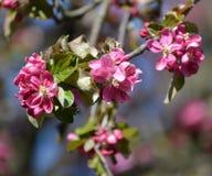 Το ανθίζοντας Apple-δέντρο Nedzvetsky (niedzwetzkyana Dieck Malus) Ένας κλάδος με τα λουλούδια Στοκ φωτογραφίες με δικαίωμα ελεύθερης χρήσης