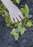 Το ανθρώπινα χέρι και το μαρούλι Στοκ Φωτογραφίες