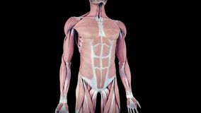 Το ανθρώπινο σύστημα μυών διανυσματική απεικόνιση