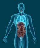 Το ανθρώπινο σώμα με τα χωνευτικά εσωτερικά όργανα συστημάτων τρισδιάστατα δίνει Στοκ Φωτογραφίες