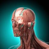 Το ανθρώπινο σώμα (όργανα) από τις ακτίνες X στο μπλε υπόβαθρο διανυσματική απεικόνιση