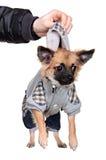 Το ανθρώπινο χέρι κρατά ανασταλμένος για ένα μικρό σκυλί περιλαίμιων. Στοκ Φωτογραφία