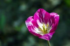 Το ανοιγμένο λουλούδι της ρόδινης τουλίπας Στοκ εικόνα με δικαίωμα ελεύθερης χρήσης