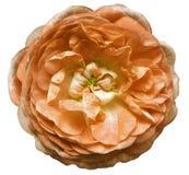 Το ανοικτό πορτοκαλί λουλούδι ενός τσαγιού αυξήθηκε με τα κίτρινα stamens σε ένα απομονωμένο άσπρο υπόβαθρο με το ψαλίδισμα της π Στοκ Φωτογραφίες