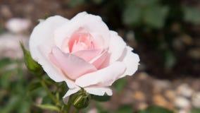 Το ανοικτό ροζ άνθος αυξήθηκε Στοκ φωτογραφία με δικαίωμα ελεύθερης χρήσης