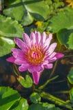 Το ανοιχτό ροζ ανθίζει waterlily και φύλλα σε μια λίμνη Στοκ εικόνα με δικαίωμα ελεύθερης χρήσης
