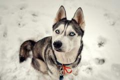 Το ανωτέρω πορτρέτο κινηματογραφήσεων σε πρώτο πλάνο καλού σιβηρικού του γεροδεμένου με τα μπλε μάτια που κάθονται στο χιόνι Στοκ Εικόνες