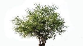 Το απομονωμένο αποβαλλόμενο δέντρο σε ένα άσπρο υπόβαθρο, τροπικά δέντρα απομόνωσε χρησιμοποιημένος για το σχέδιο, τη διαφήμιση κ στοκ φωτογραφία με δικαίωμα ελεύθερης χρήσης
