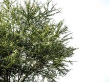 Το απομονωμένο αποβαλλόμενο δέντρο σε ένα άσπρο υπόβαθρο, τροπικά δέντρα απομόνωσε χρησιμοποιημένος για το σχέδιο, τη διαφήμιση κ στοκ φωτογραφίες