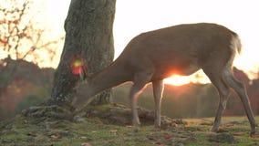 Το απομονωμένο ελάφι που βόσκει στο Νάρα κατά τη διάρκεια του φθινοπώρου κινείται για να αποκαλύψει το ζεύγος τουριστών που περπα απόθεμα βίντεο