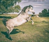Το αραβικό άλογο αυξάνεται στη θερινή φύση Στοκ φωτογραφίες με δικαίωμα ελεύθερης χρήσης