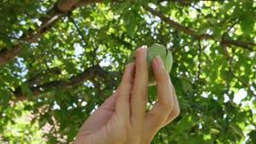 Το αριστερό θηλυκό χέρι κρατά ένα φρούτο με καρύδια, στο φόντο μια καρυδιά Φθινοπωρινή περίοδος συγκομιδής καρπών με κέλυφος απόθεμα βίντεο