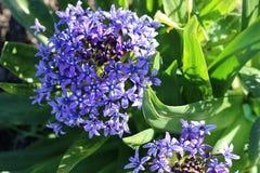 Το αρκετά πορφυρό λουλούδι συνόρων αυξάνεται στον κήπο, Καλιφόρνια Στοκ φωτογραφίες με δικαίωμα ελεύθερης χρήσης