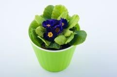 Το αρκετά primrose λουλούδι αυξάνεται στο πράσινο πλαστικό δοχείο στο άσπρο υπόβαθρο Στοκ εικόνες με δικαίωμα ελεύθερης χρήσης