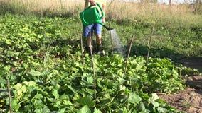 Το αρσενικό αγόρι χωρών με το πότισμα μπορεί να χύσει το νερό στις φυτικές εγκαταστάσεις αγγουριών στην αγροτική φυτεία 4K απόθεμα βίντεο