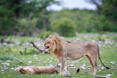 Το αρσενικό λιοντάρι που κάνει το α ο μορφασμός Στοκ φωτογραφία με δικαίωμα ελεύθερης χρήσης