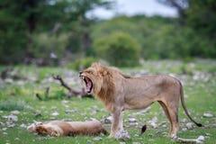 Το αρσενικό λιοντάρι που κάνει το α ο μορφασμός Στοκ εικόνες με δικαίωμα ελεύθερης χρήσης