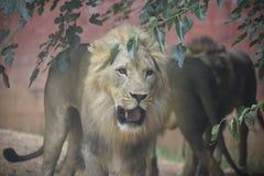 Το αρσενικό λιοντάρι που στρέφεται κοιτάζει επίμονα Στοκ Εικόνες
