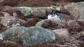Το αρσενικό και θηλυκό muta Lagopus βουνοχιονοκοτών moult την άνοιξη εσκαρφάλωσε και περπατώντας στο εθνικό πάρκο cairngorm, Σκωτ φιλμ μικρού μήκους