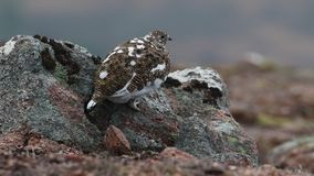 Το αρσενικό και θηλυκό muta Lagopus βουνοχιονοκοτών moult την άνοιξη εσκαρφάλωσε και περπατώντας στο εθνικό πάρκο cairngorm, Σκωτ απόθεμα βίντεο