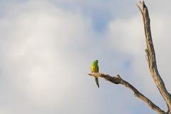 Το αρσενικό κόκκινο το πουλί παπαγάλων (παπαγάλος χλόης) στο πράσινο και κίτρινο γ Στοκ Εικόνες