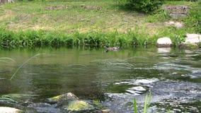 Το αρσενικό πουλί παπιών κολυμπά ενάντια στο ρεύμα στο νερό ποταμού Ζουμ μέσα απόθεμα βίντεο