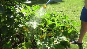 Το αρσενικό που ποτίζει τα φρέσκα κολοκύθια συγκομιδών με μπορεί στο eco να καλλιεργήσει 4K απόθεμα βίντεο