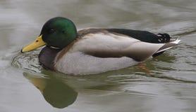 Το αρσενικό πρασινολαιμών κολυμπά Στοκ Φωτογραφία