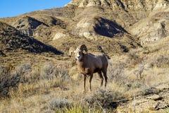 Το αρσενικό πρόβατο Bighorn κριού κοιτάζει επίμονα στη κάμερα Λήφθείτε στη Μοντάνα στοκ εικόνες