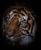 το αρσενικό σχεδιάγραμμα πορτρέτου κοιτάζει επίμονα την τίγρη εσείς Στοκ Εικόνα