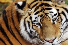 το αρσενικό σχεδιάγραμμα πορτρέτου κοιτάζει επίμονα την τίγρη εσείς Στοκ φωτογραφία με δικαίωμα ελεύθερης χρήσης