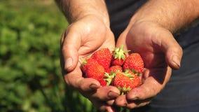 Το αρσενικό χέρι παρουσιάζει κόκκινες φράουλες στα χέρια του Η Farmer συλλέγει το ώριμο μούρο ο φοίνικας κηπουρών παρουσιάζει εύγ απόθεμα βίντεο