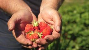 Το αρσενικό χέρι παρουσιάζει κόκκινες φράουλες στα χέρια του ο αγρότης συλλέγει το ώριμο μούρο ο φοίνικας κηπουρών παρουσιάζει εύ φιλμ μικρού μήκους