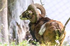 Το αρσενικό Moufflon τρώει τη χλόη το πρωί Στοκ Εικόνες