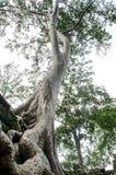 Το αρχαίο και μεγάλο δέντρο Στοκ Εικόνες