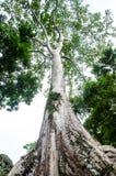Το αρχαίο και μεγάλο δέντρο Στοκ Εικόνα