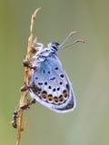 Το ασήμι στερέωσε την μπλε πεταλούδα στη συμβίωση με το κόκκινο μυρμήγκι Στοκ φωτογραφία με δικαίωμα ελεύθερης χρήσης