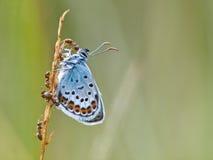 Το ασήμι στερέωσε την μπλε πεταλούδα στη συμβίωση με το κόκκινο μυρμήγκι Στοκ εικόνα με δικαίωμα ελεύθερης χρήσης