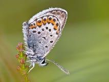 Το ασήμι στερέωσε την μπλε πεταλούδα Στοκ Εικόνα