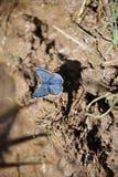 Το ασημένιος-στερεωμένα μπλε & x28 Plebejus argus& x29  πεταλούδα Στοκ Φωτογραφία