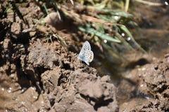 Το ασημένιος-στερεωμένα μπλε & x28 Plebejus argus& x29  πεταλούδα Στοκ φωτογραφία με δικαίωμα ελεύθερης χρήσης