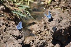 Το ασημένιος-στερεωμένα μπλε & x28 Plebejus argus& x29  πεταλούδα Στοκ εικόνα με δικαίωμα ελεύθερης χρήσης
