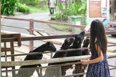 Το ασιατικό κορίτσι ταΐζει με μπιμπερό την αίγα στο πάρκο ζωολογικών κήπων στοκ εικόνες με δικαίωμα ελεύθερης χρήσης