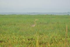 Το ασιατικό πουλί Anhinga darter melanogaster στη φύση στα υδρόβια πουλιά Thale Noi διατηρεί τη λίμνη, Ταϊλάνδη Στοκ φωτογραφίες με δικαίωμα ελεύθερης χρήσης
