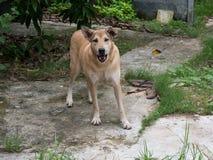 Το ασιατικό σκυλί κοιτάζει επίμονα και στεμένος στο έδαφος τσιμέντου Στοκ Εικόνες