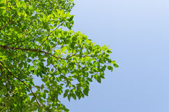 Το δασικό δέντρο και ο μπλε ουρανός Στοκ Εικόνες