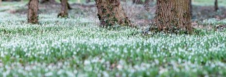 Το δασικό σύνολο του snowdrop ανθίζει την άνοιξη την εποχή Στοκ Φωτογραφία